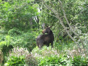 Young moose among hostas